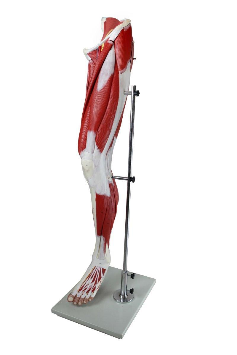 Wellden Deluxe Medical Anatomical Muscular Leg Model 13 Parts Life
