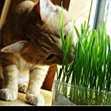 1 Professional Pack 220 Particles Foliage Plant Seeds Wheat Grass Cat Grass Seeds Wheat Seeds(Cats like to eat grass