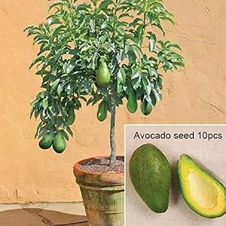 Dovlen 10 Piezas / Juego Aguacate Semillas Jardín Granja en Maceta Bonsái Delicioso Verde Frutas Pera Semilla