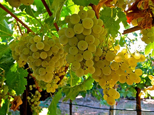 Rare cuttings - Riesling White Grapes-2 Fresh cuttings - Quality Wines of Europe