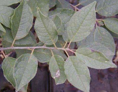 - Male Winterberry Holly (Ilex verticillata)