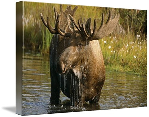 Imagekind Wall Art Print entitled Bull Moose In Pond, Denali National Park, Alaska by Design Pics | 10 x 7