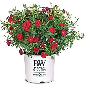 Proven Winners - ROSA `OSO EASY URBAN LEGEND` (Landscape Rose) Rose, cherry red flowers, #2 - Size Container