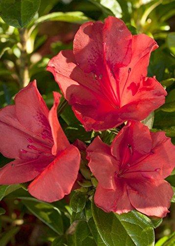 Higarden Fire Red Azaleas Garden Plants Potted Flowers Seed Flowering Plants 200 Pcs/bag (Autumn Sunset Encore Azalea)