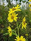 Sunflower- Maximillian- 100 Seeds