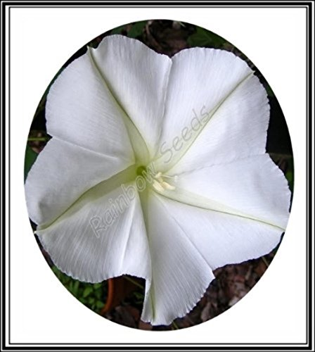 15+ Giant White Moon Vine Seeds ~ Morning Glory