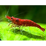 Sakura Red Cherry Shrimp BREEDER COMBO PACK (Neocaridina davidi) - 10 Females, 5 Males at 1/2 to 1 Inch Long + Aquatic Arts Brand Food Sample