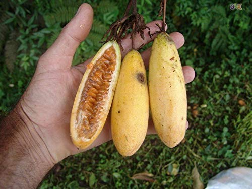 (Flower Passion Fruit Banana Pink Tropical Garden Passiflora 30pcs Fresh Seeds )