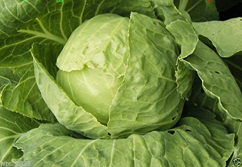 tropicana-cabbage-100-seed-grown-all-year-round-in-subtropical-climates-