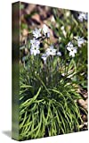 Wall Art Print entitled Star Of Bethlehem Flowers (Ipheion Uniflorum) In by Panoramic Images