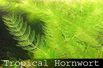 Planta de crecimiento rápido para acuarios (Anthocerotophyta), plantas flotantes para acuario, 8 unidades: Amazon.es: Productos para mascotas