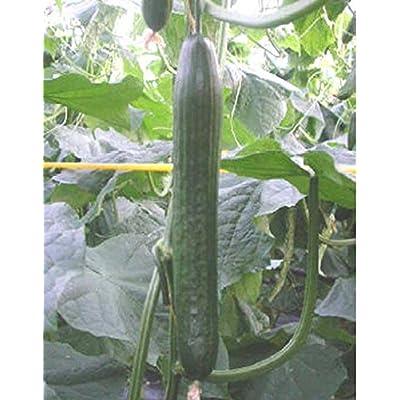 """Holland Hothouse F1 Cucumber Seeds - 15"""" long dark green cucumber Excellent !!(10 - Seeds) : Garden & Outdoor"""