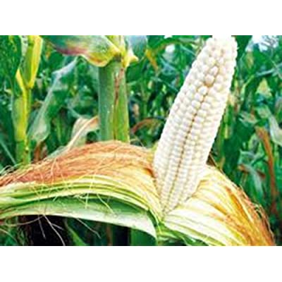 Corn, White, STOWELL'S Evergreen, Heirloom, Organic 20+ Seeds, Delicious N Sweet : Garden & Outdoor