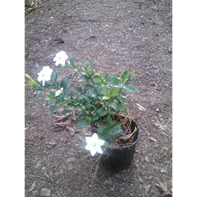 (2 Gallon) August Beauty Gardenia,Intense Fragrance, prolifoc Bloomer, Silky White Flowers,Evergreen, Long Blooming Season,: Garden & Outdoor
