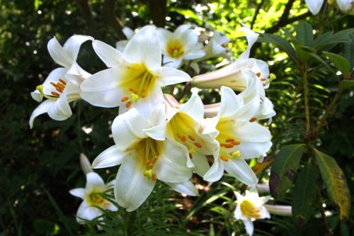 Taylors Lilium Regale x3 Bulbs