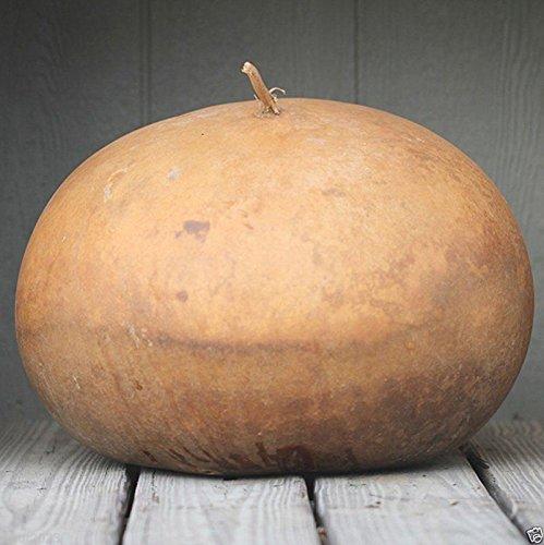 Bushel Basket Gourd Seeds,Fruit up to 100 lb,Make large baskets and decorations.(10 Seeds)