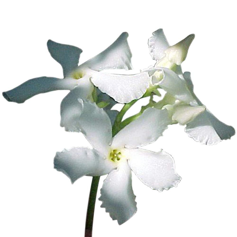 """Asiatic Star Jasmine Plant -Trachelosperumum - FRAGRANT - 2.5"""" Pot"""