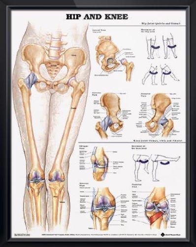 knee anatomy poster