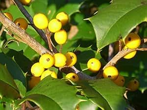 Amazon 20 goldie american holly seeds ilex opaca yellow share facebook twitter pinterest mightylinksfo