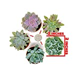 Succulent Plants (5 Pack), Fully Rooted in Planter Pots with Soil - Real Live Potted Succulents / Unique Indoor Cactus… 14 HAND SELECTED: Every pack of succulents we send is hand-picked. You will receive a unique collection of species that are FULLY ROOTED IN 2 INCH POTS, which will be similar to the product photos (see photo 2 for scale). Note that we rotate our nursery stock often, so the exact species we send changes every week. THE EASIEST HOUSE PLANTS: More appealing than artificial plastic or fake faux plants, and care is a cinch. If you think you can't keep houseplants alive, you're wrong; our succulents don't require fertilizer and can be planted in a decorative pot of your choice within seconds. DIY HOME DECOR: The possibilities are only limited by your imagination; display them in a plant holder, a wall mount, a geometric glass vase, or even in a live wreath. Because of their amazingly low care requirements, they can even make the perfect desk centerpiece for your office.