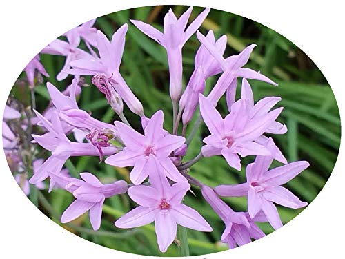 (Purple Society Garlic Plant Clumping Lily-Like Ground Cover Border Herb Plant Starter Size 4 Inch Pot Emerald TM)