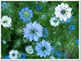 Nigella Sativa Flowers - Herb, Blue White Or Pink Garden Flower, Paper Print Wall Art (30in. x 40in.)