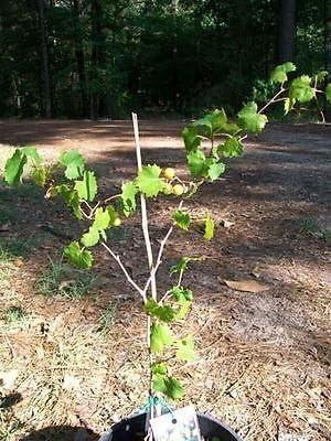 Bronce Higgins Muscadine UVA 2 Gal. Plantas de vid vid planta uvas viñedos: Amazon.es: Jardín