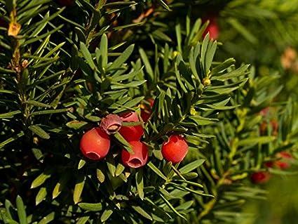 amazon com european yew english yew seeds garden outdoor