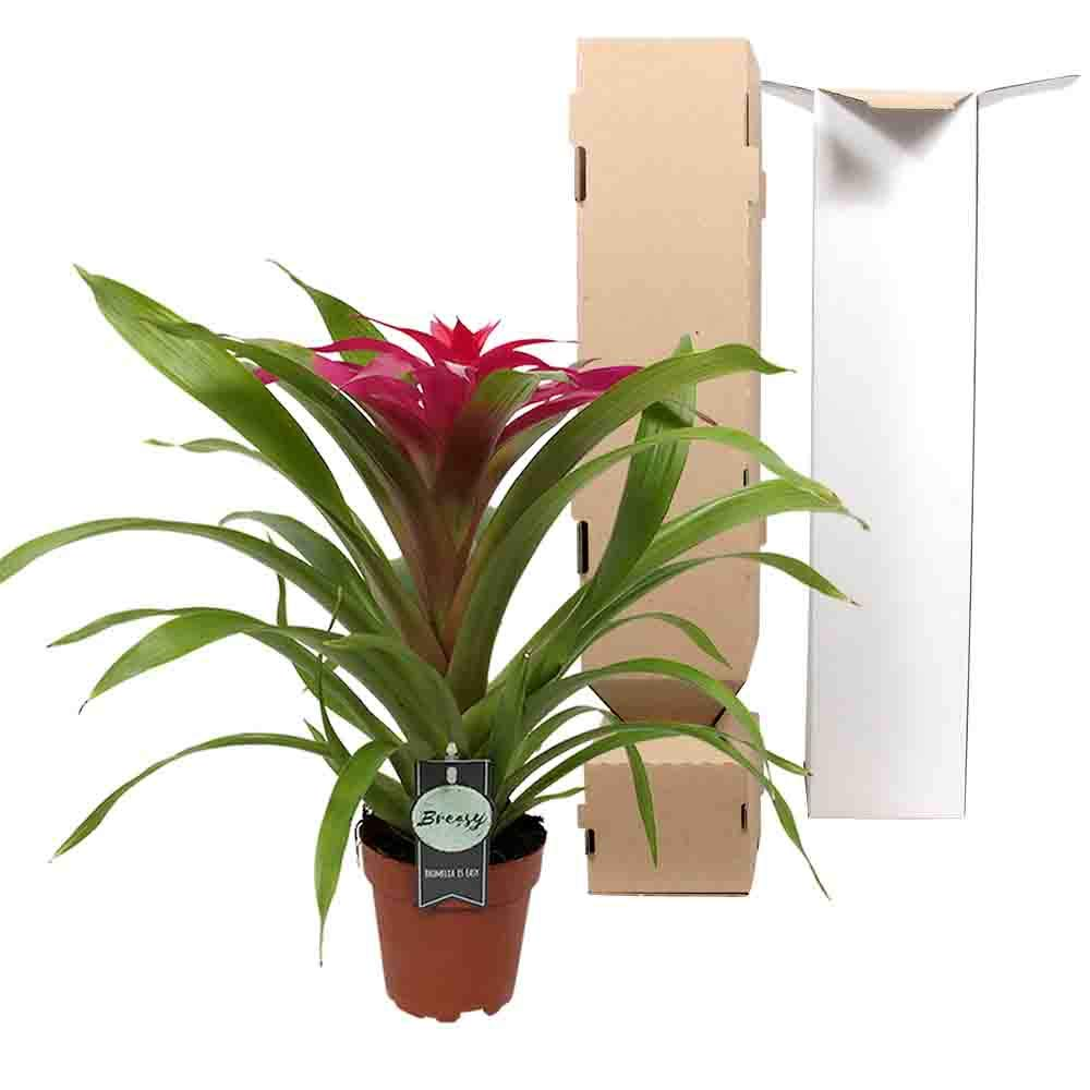 Guzmania Deseo Pink House Plant in a 12cm Pot 45cm tall approx
