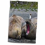 3dRose Danita Delimont - Seals - South Georgia. St Andrews. Southern elephant seals. - 15x22 Hand Towel (twl_225242_1)