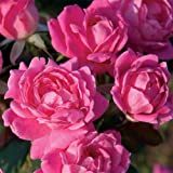Knockout Double Pink Rose Shrub Plants