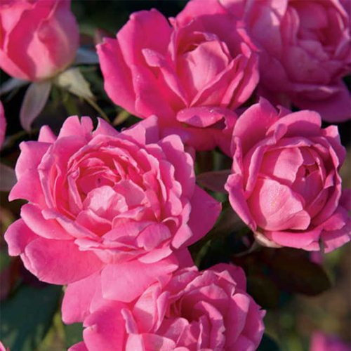 Knockout Double Pink Rose Shrub Plants (Rose Plants)