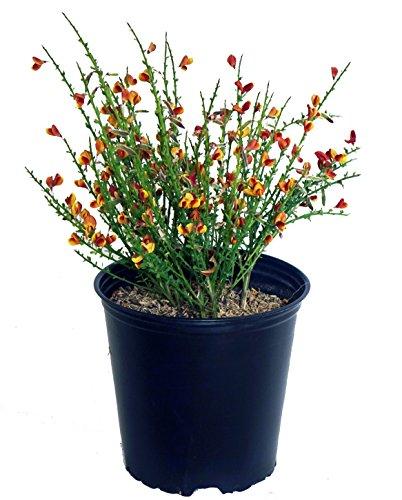 (Cytisus sco. 'Lena' (Scotch Broom) Shrub, #3 - Size Container)