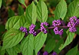 Early Amethyst Beautyberry - Callicarpa