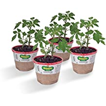 Bonnie Plants 4P0261 Cherokee Purple Heirloom Tomato (4), 4-PACK
