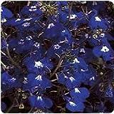 Fiore - Lobelia Rampicante - Regatta Zaffiro - 1000 Seme