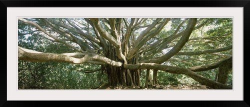 GreatBIGCanvas ''Banyan tree stretches in all directions, Maui, Hawaii'' by Photographic Print Photographic Print with Black Frame, 48'' x 16'' by greatBIGcanvas