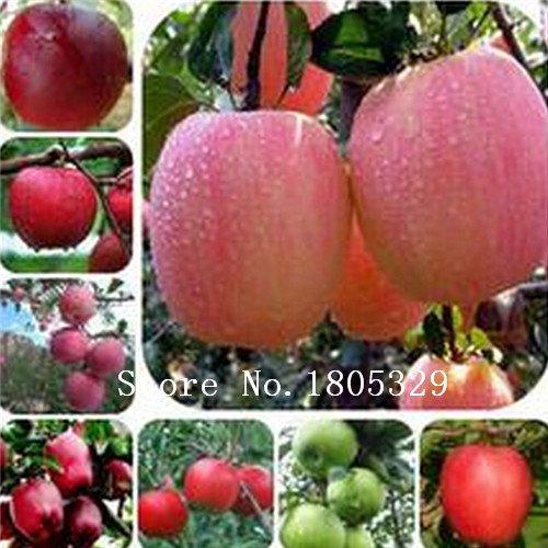 Cashew Apple - 30 Cashew Nut Apple seeds Plant Anacardium Occidentale Tree Planting Seeds Fresh New fruit seeds