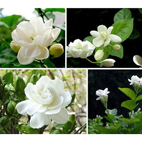 Fragrance Seed (1Bag Jasmine Flower Seeds, Easy Grow Fresh Heath Flower Planting Seeds for Garden Bonsai Planting Decor)