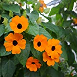 Outsidepride Thunbergia Orange Vine Plant Flower