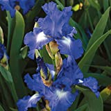 Van Zyverden 21502 Bearded Iris - City Lights - Set of 3 Roots Flower Bulbs, 1, Blue, with White Accents