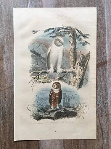 - 1870 Bird Original Antique Engraving, Hand Colored Engraving, Birds Engraving, Bird Art,Antique Bird Print, Antique Snowy owl Print, owl Art