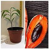 zapote fruit - MAMEY SAPOTE FRUIT TREE 1 FEET TALL PLANT