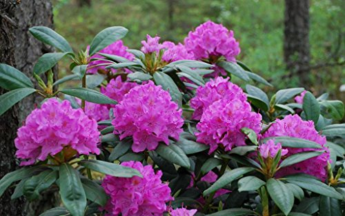 rhododendron-english-roseum-second-year-plant-4-container