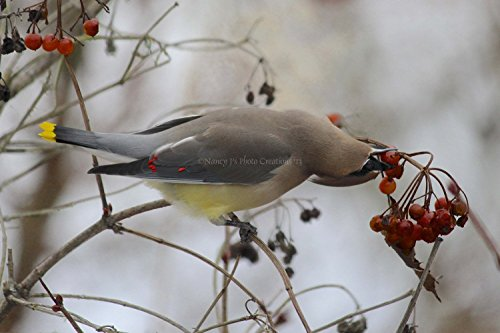 funny-bird-photo-winter-nature-photography-cedar-waxwing-in-snow-with-red-berries-unframed-grey-wall