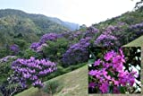 25 seeds of Tibouchina Granulosa / Purple Glory Tree Rare Seeds