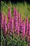 10 x Verschiedene Wasserpflanzen, sehr großzügig bemessen, jetzt noch bepflanzen. Bilder sind beispielbilder.Jetzt Bestellen im Frühjahr verschickt.
