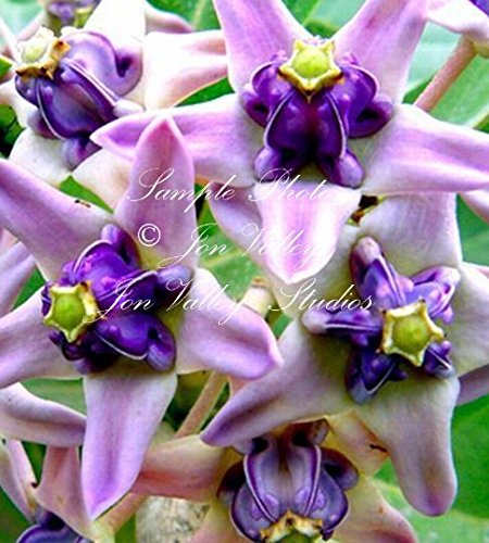 10 seeds Blue Crown Flower Important to Monarch Butterflies Purple White Blossoms Calotropis gigantea