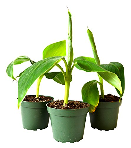 9Greenbox Plant, Dwarf/Patio Banana, 3 Pound (Pack of 3)