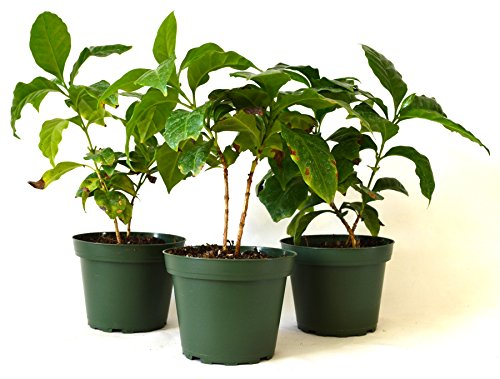 9Greenbox Arabica Coffee Plant Pot Set, 3 Inch x 4 Inch, (Accumulation of 3)